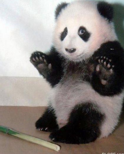 cute baby panda pictures 2