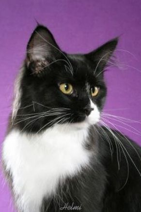 The Black and White breed cat is considered to be a bicolor cat.