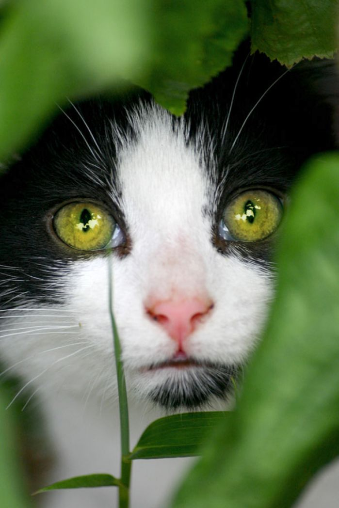 green eyes clipart. Green eyes black and white cat