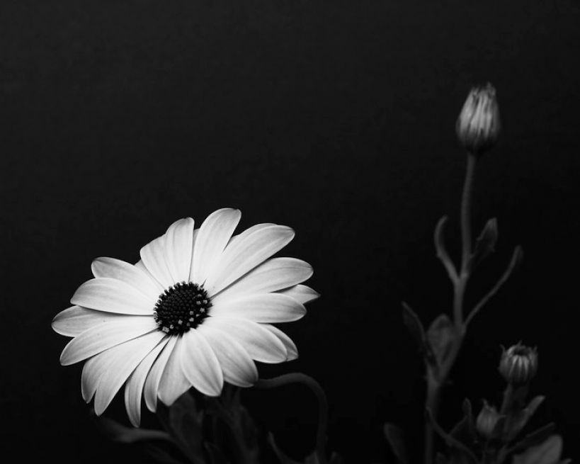 flowers background white. Black and white flower