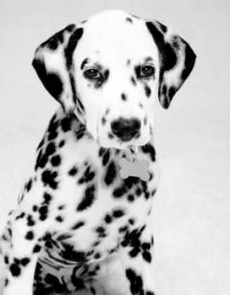 Black and white pictures of dogs pictures 1