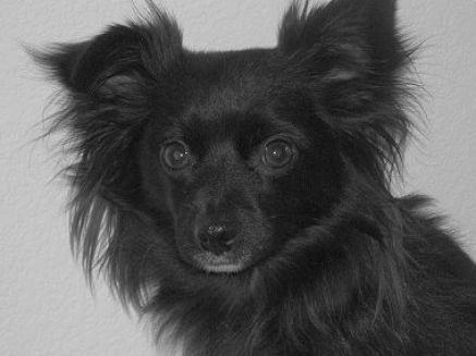 Black long haired chihuahua pictures 1