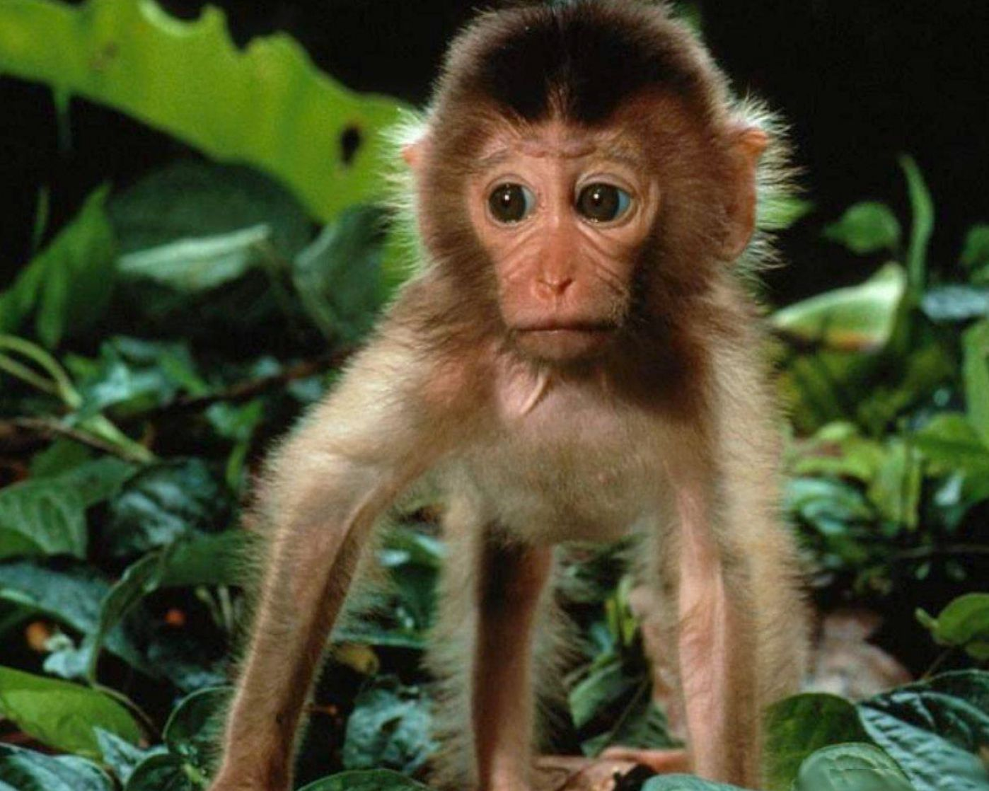 Cute baby monkey wallpapers - photo#5