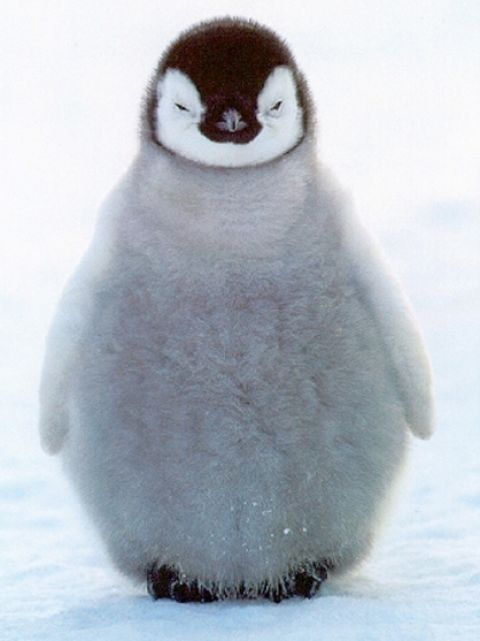 Cute baby penguin pics pictures 1