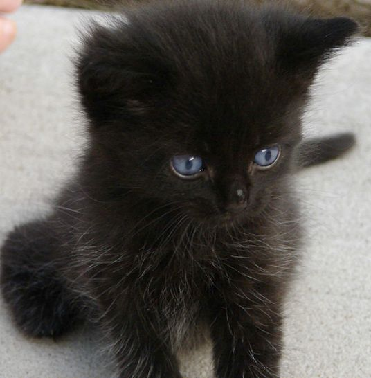Cute black baby kittens pictures 2