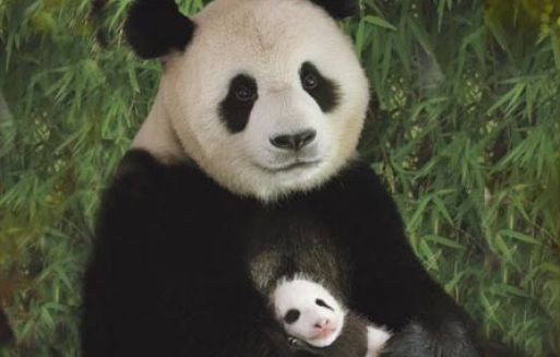 Panda Pictures For Kids