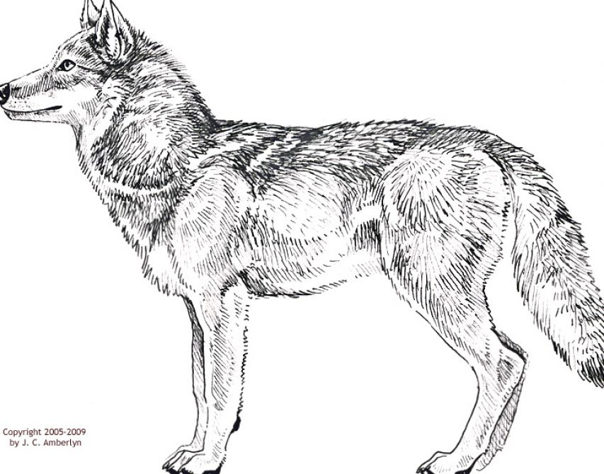 How to draw a wolf body - photo#5