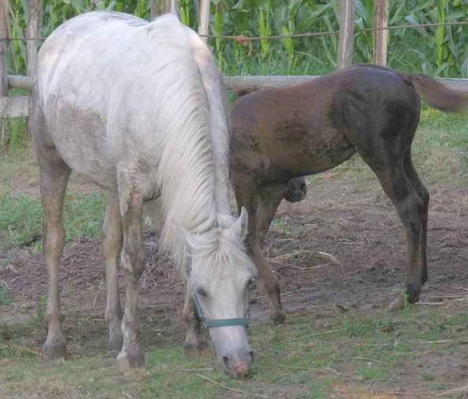 pics of horses breeding 4