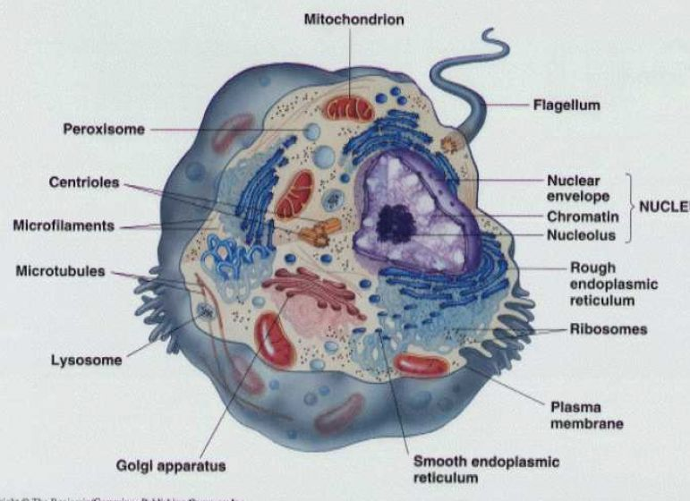 Labeled Animal Cell Structure