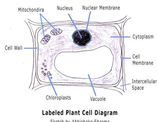 Cell Diagram Labeled Functions Cell Diagram With Labels