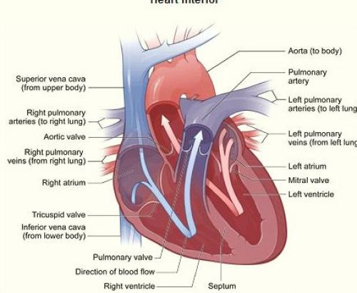 The Heart and Its Parts