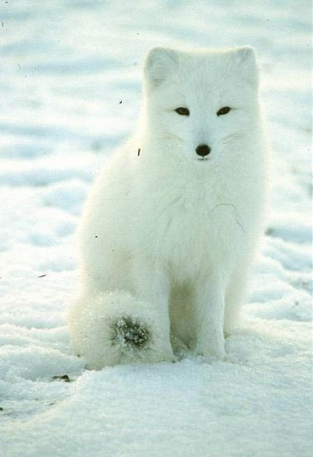 animal pictures free hd: Tundra Animal Pictures