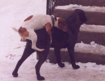 Pictures of dogs mating pictures 1