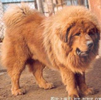 top 10 most expensive dog breeds in the world autos post