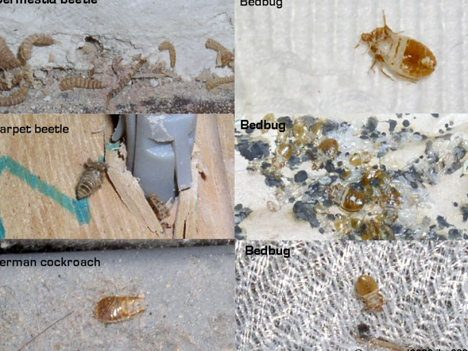 Are Bed Bugs Visible To The Human Eye 28 Images How