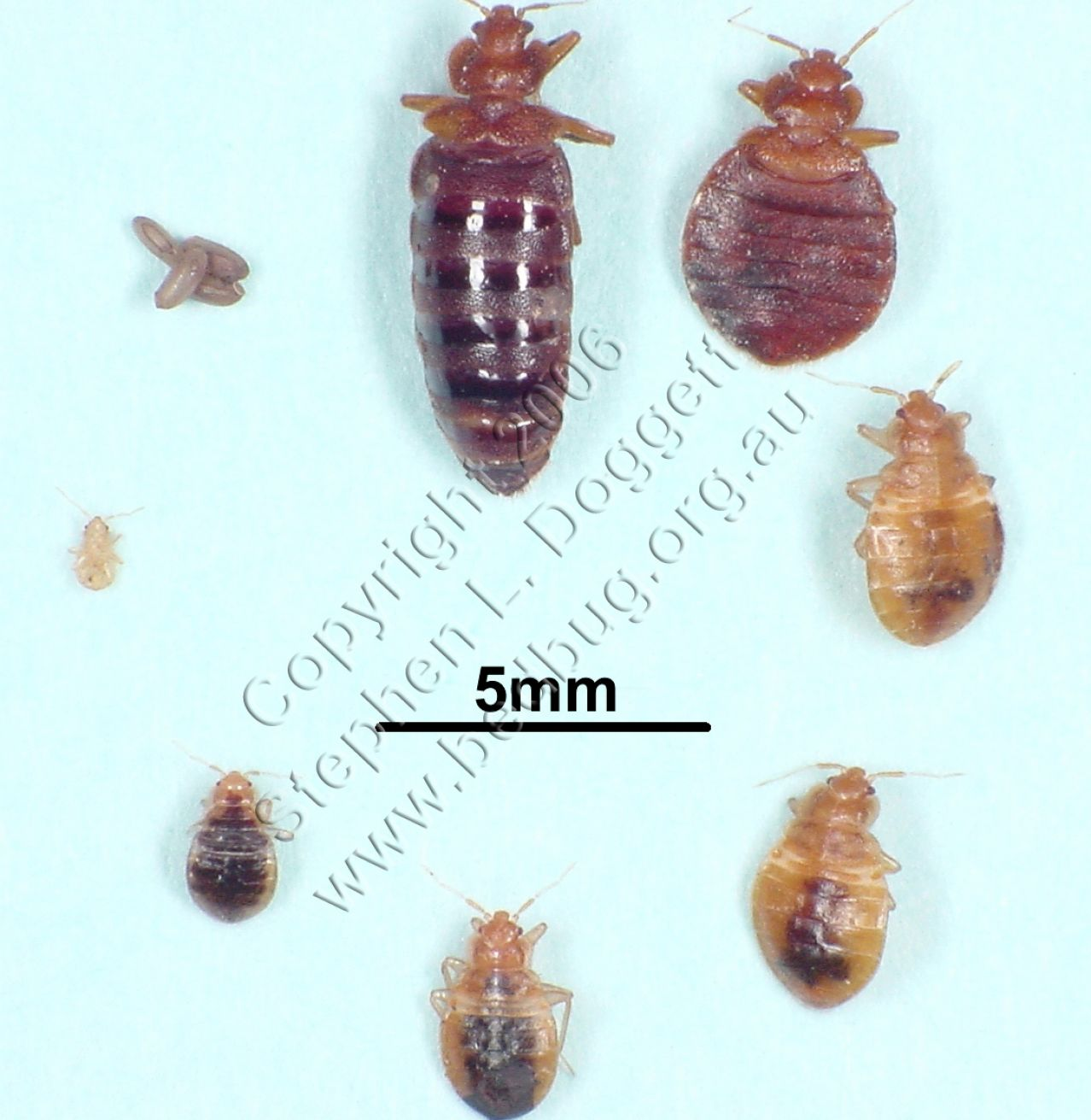 How Do Bed Bugs Look Like Bed Mattress Sale