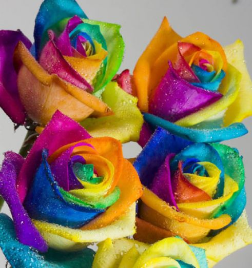 Where can i buy rainbow roses k 2017 for Where can i buy rainbow roses in the uk